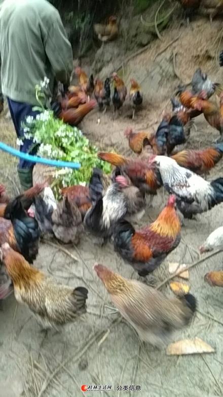 龙胜农家散养土鸡,可批发零售。