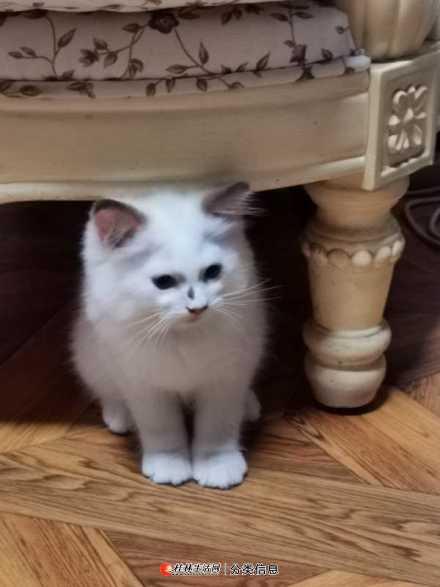 三个月纯种布偶猫出售(个人非猫舍)!!!