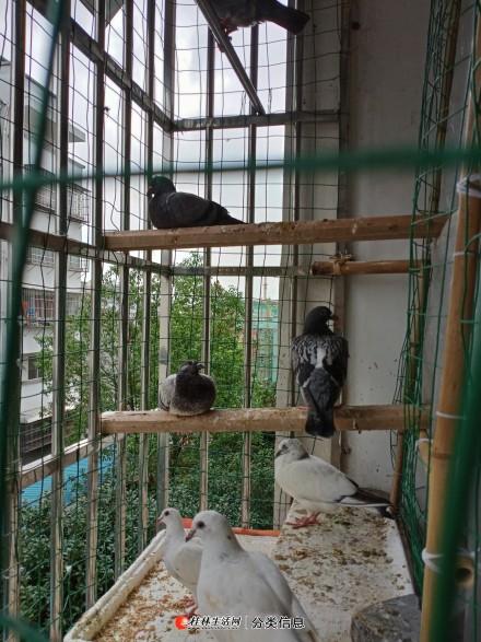 信鸽信鸽,土尼尔信鸽,克拉克信鸽