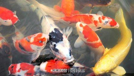 锦鲤鲫鱼观赏鱼低价出售