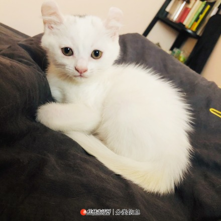 自家卷耳猫出售 可以上门看猫猫