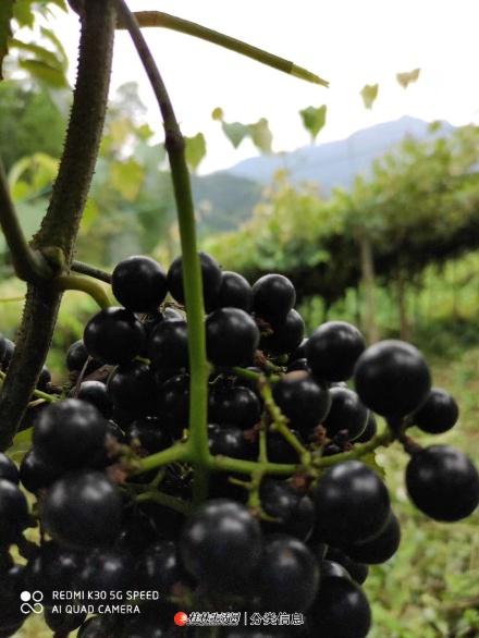 野生山葡萄,泡酒专用,价格美丽