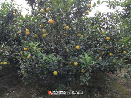 2020年桂林蜜香橙什么时候上市?