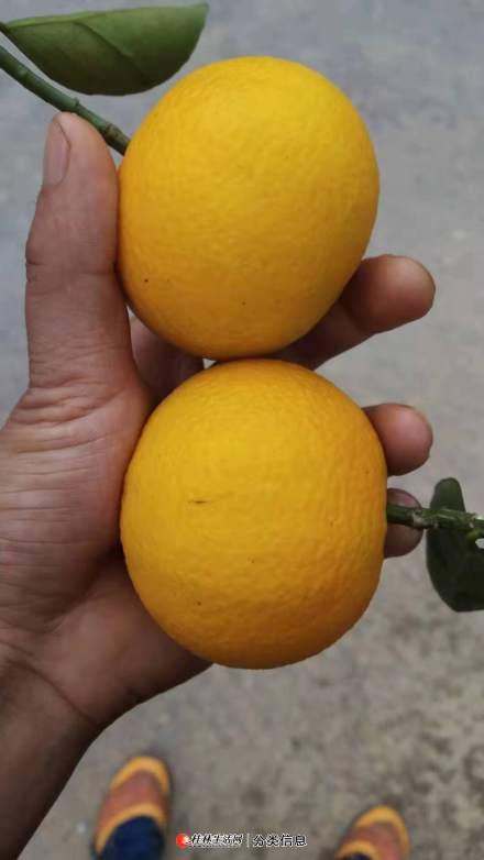 蜜香橙和赣南脐橙哪个好吃?广西桂林蜜香橙成熟时间是几月份?