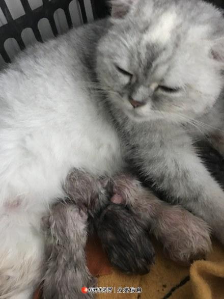 渐成猫小公猫咪 渐成猫小公猫咪
