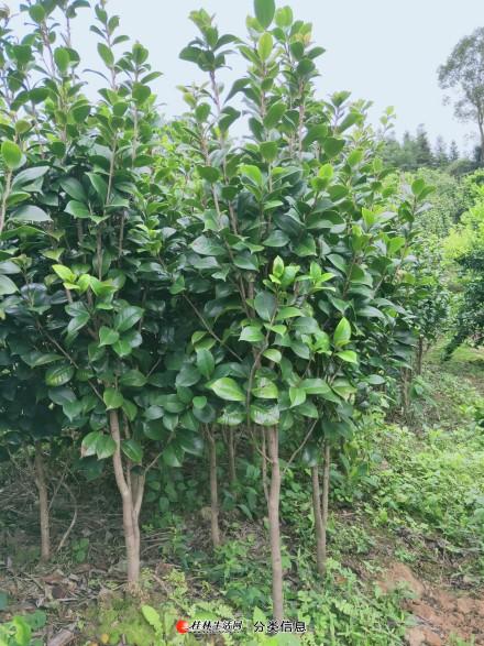 大量供应绿化茶花品种地苗