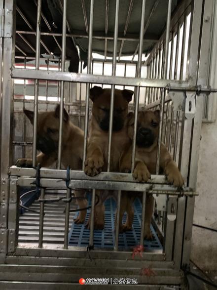 川东猎犬满2个月出售