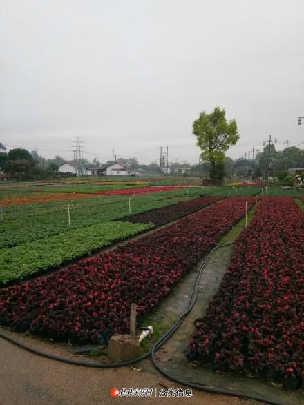 专业绿化小区,厂区,庭院,供应苗木,花草,绿化树