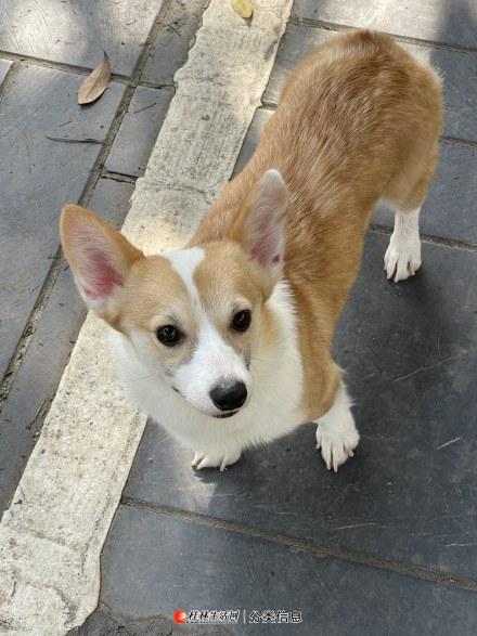 9个月双色纯种母柯基犬
