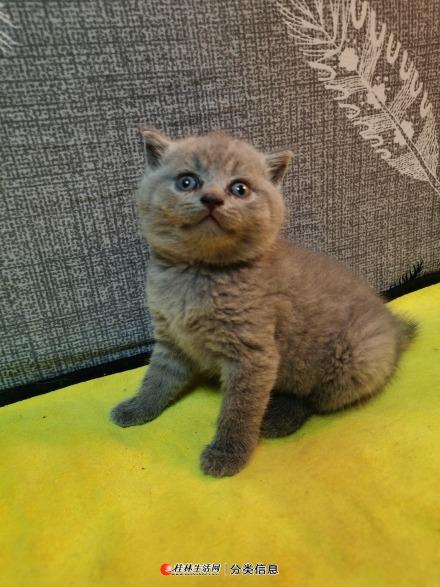 出售英国蓝猫和蓝白弟弟